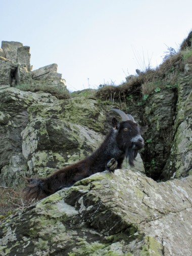 A relaxed goat in The Valley of the Rocks. One of a large herd that lives there.