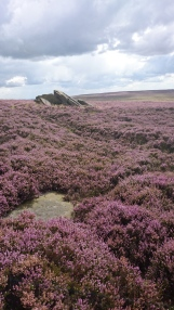 Flowering heather on the edge of the Burbage Valley