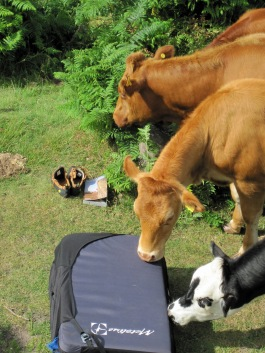 Cows taking an interest in my bouldering stuff at Robin Hood's Stride (babywipes came in useful for wiping the cow drool off).