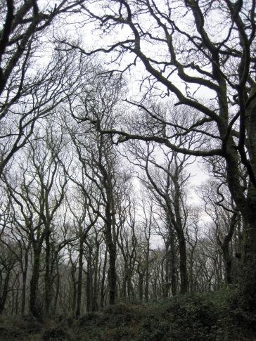 Gnarled and bent trees in Worthy Wood near Porlock.