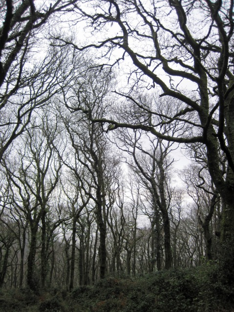 Gnarled and bent trees in Worthy Wood near Porlock.