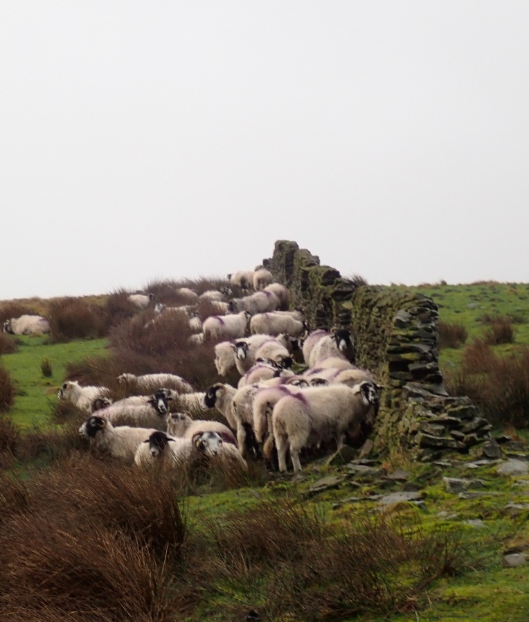 When I got to the ridge above the Woodlands Valley, the wind hit really hard. These sheep were sheltering from the wind (the photo is out of focus as the wind was so strong I couldn't stay still enough to take a decent photo), and we followed their lead. We gave up the idea of walking up Winhill Pike, and stuck to the tree line until we could take a path back to the reservoir.